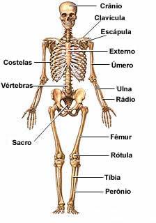 Esqueleto o esqueleto humano pesquisa escolar uol for O osso esterno e dividido em