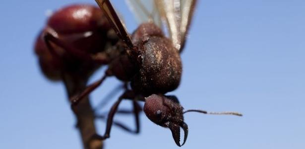 As formigas fêmeas conhecidas como içás, ou formigas rainha, na zona rural de Silveiras, no dia 21 de dezembro de 2010
