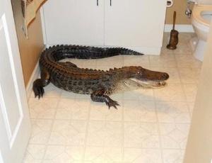 Jacaré de mais de dois metros de comprimento foi encontrado em banheiro de uma casa na Flórida