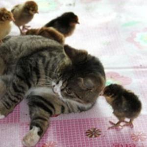 Conheça Niu Niu, a gata chinesa que adotou pintinhos