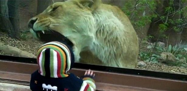 Criança de um ano observa leoa em zoológico do Colorado, EUA