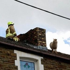 Bombeiro tenta resgatar ovelha em telhado de casa