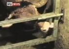 Daisy, a vaca fujona, é flagrada ao abrir o trinco da porteira com a língua