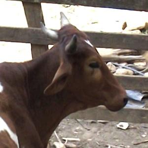 Boi de três chifres é atração em Poço Fundo (MG); animal foi comprado por R$ 1.400 em leilão de gado