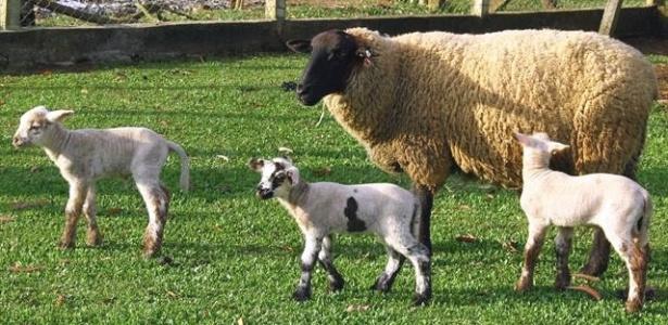 Três ovelhas de parque em Curitiba dão à luz trigêmeos - seis carneirinhos e três ovelhinhas