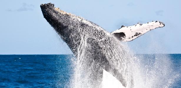 População brasileira das baleias jubarte passa justamente nesta época do ano pela costa do Rio