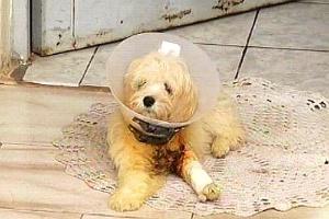 A poodle Radija, de quatro meses, teve a pata fraturada ao saltar do sofá da família