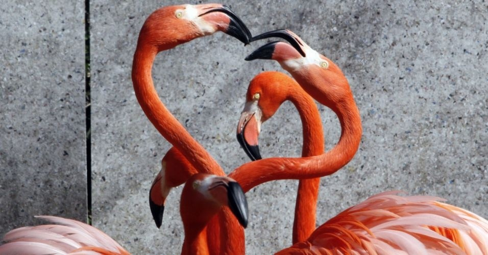 Par de flamingos caribenhos levanta pesco&#231;os durante ritual de acasalamento em zoo no Jap&#227;o