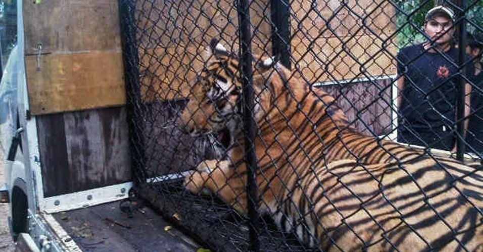 Policial tailandesa resgata tigre durante opera&#231;&#227;o em Saraburi