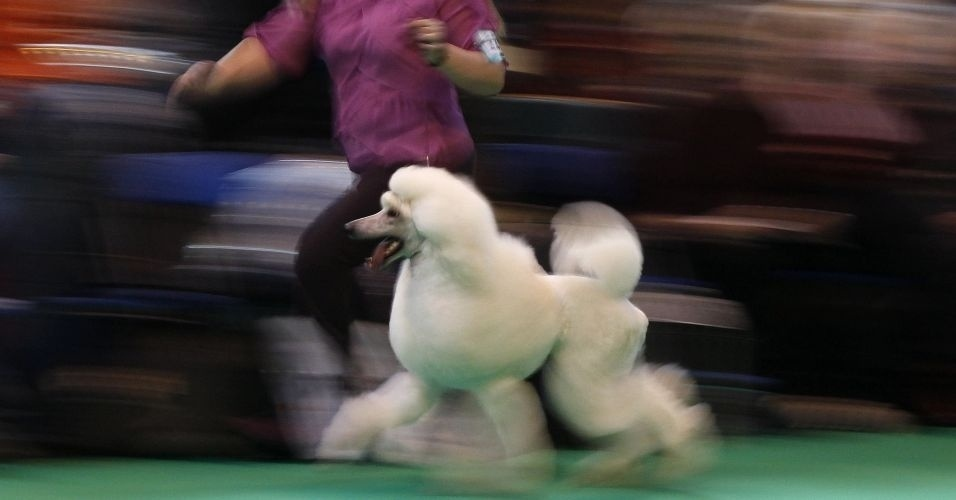 Poodle desfila para j&#250;ri na exposi&#231;&#227;o de c&#227;es Crufts, no Reino Unido 