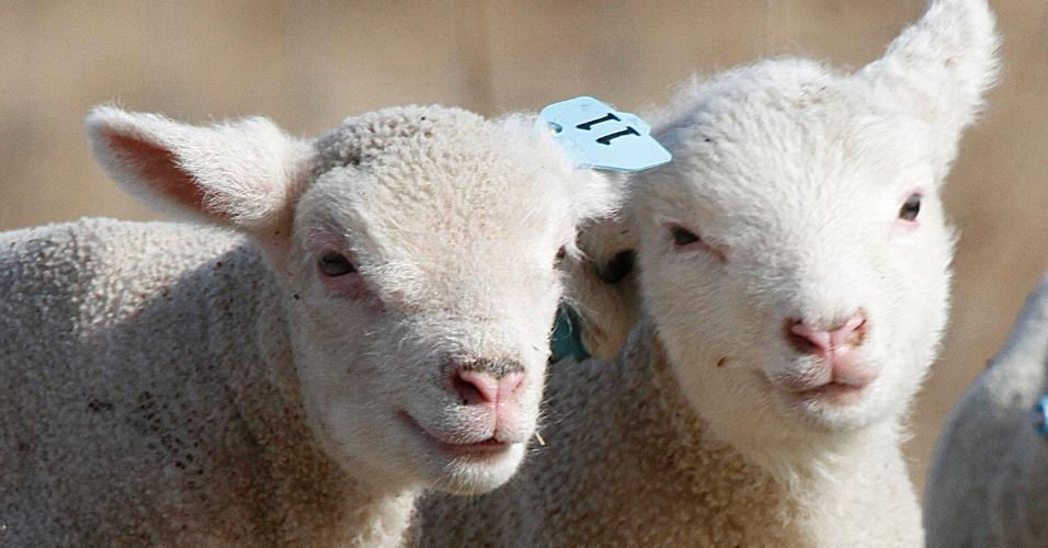 Cordeiros caminham por uma pastagem de Plainfield, em Vermont (EUA), nesta segunda-feira (19)