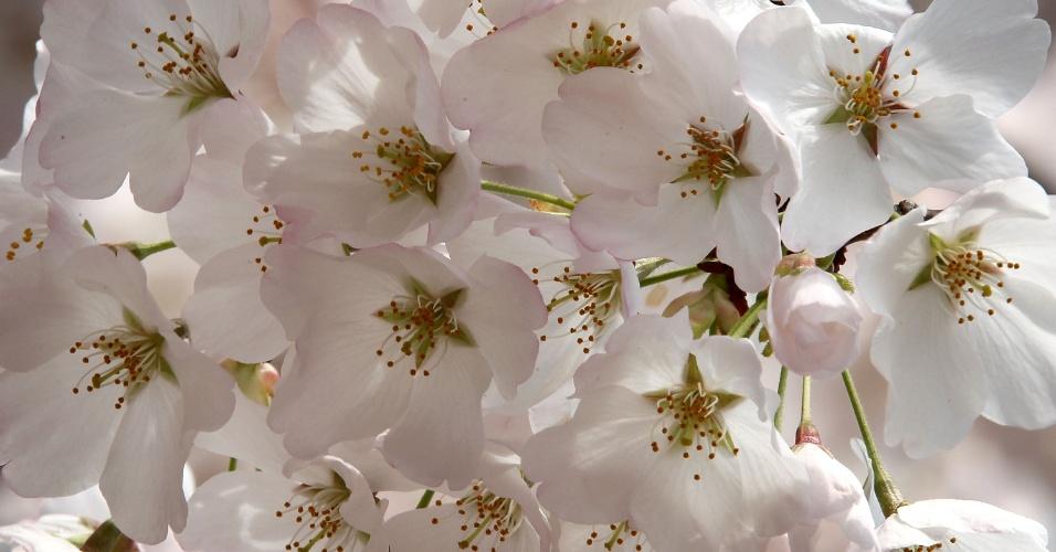Flores de cerejeira brotam na enseada de Tidal Basin, em Washington, nos EUA