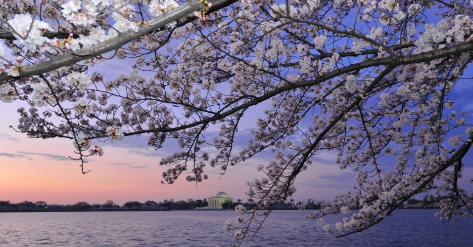Flores de cerejeiras começam a desabrochar em Washington, nos Estados Unidos. Ao fundo, o Jefferson Memorial. Este ano fazem 100 anos que o Japão deu a flor de presente aos EUA