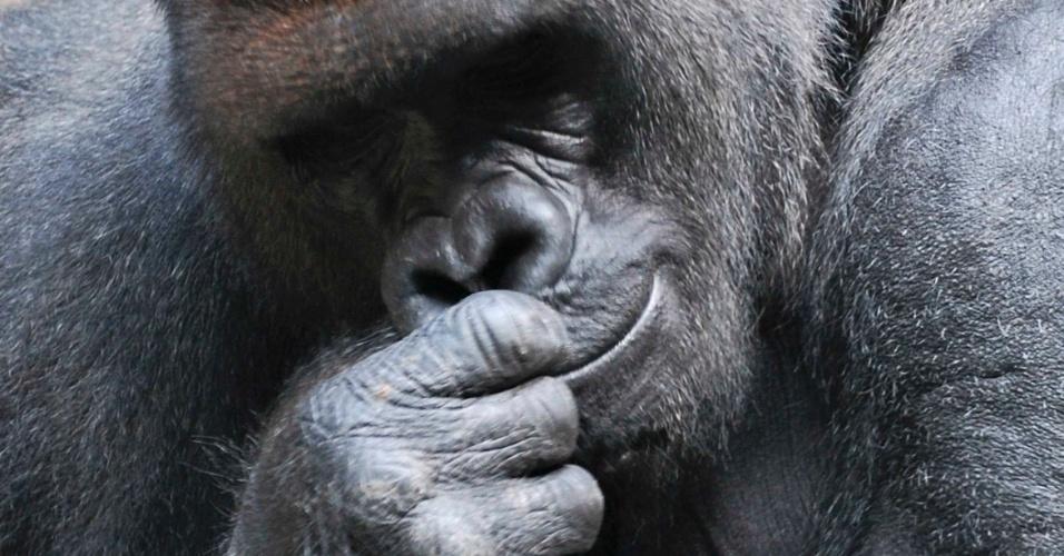 Koga, um gorila macho de 24 anos de idade, é visto nesta foto sem data publicada pelo jardim zoológico de Buffalo, nos Estados Unidos. O animal escapou de sua jaula após morder o tratador, mas foi capturado ainda dentro do zoológico que não estava aberto ao público