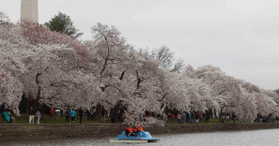 Pessoas aproveitam o sol e apreciam a beleza das flores de cerejeiras, que começam a desabrochar em Washington, nos Estados Unidos. Este ano fazem 100 anos que o Japão deu a flor de presente aos EUA