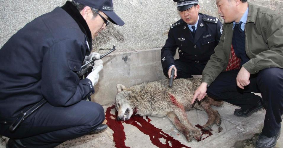 Policiais matam lobo a tiros em Tengzhou, na província de Shandong, na China, depois de sete supostos ataques do animal a pessoas em seis dias. Mesmo assim, a polícia local não confirma se o lobo morto é o mesmo que atacou as pessoas