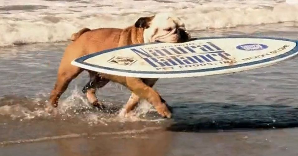Em um v&#237;deo na internet, um cachorro da ra&#231;a bulldog surfa no mar, rodeado de outros c&#227;es, surfa na areia e ainda anda de skate numa pista profissional. &#201; praticamente um rato de praia!