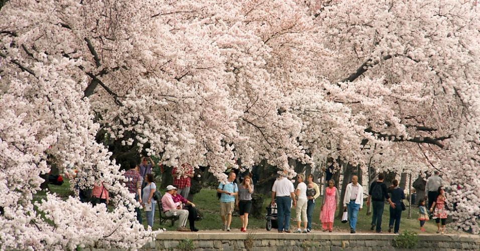 Passeio sob flores de cerejeira, em Washington