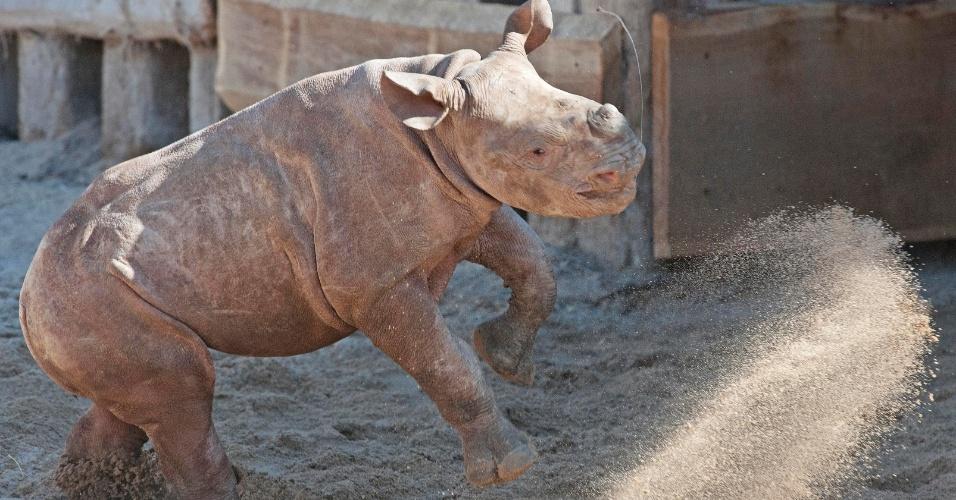 Um filhote de rinoceronte de apenas três meses de idade brinca na areia no zoológico Leipzig, na Alemanha