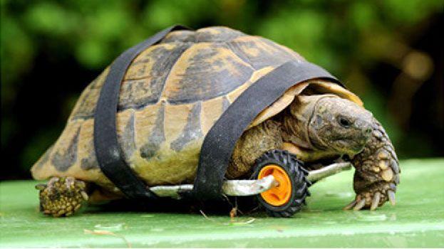 Tartaruga mobilizada