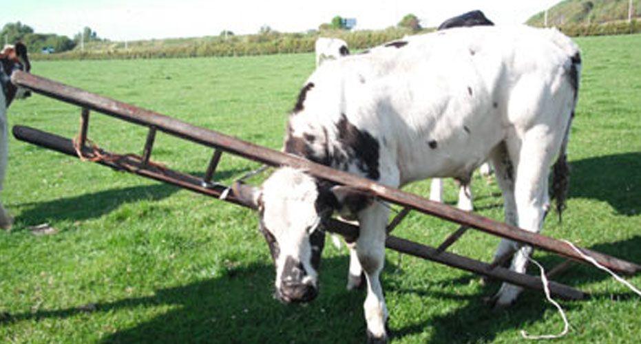 Vaca presa