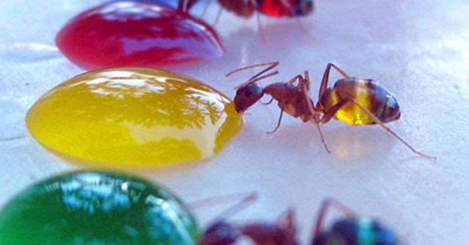 Formigas coloridas