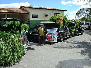 Brasil - Polícia apreende 10 mil pés de maconha no Sertão de Alagoas 30maconha1