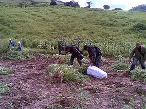Brasil - Polícia apreende 10 mil pés de maconha no Sertão de Alagoas 30maconha2
