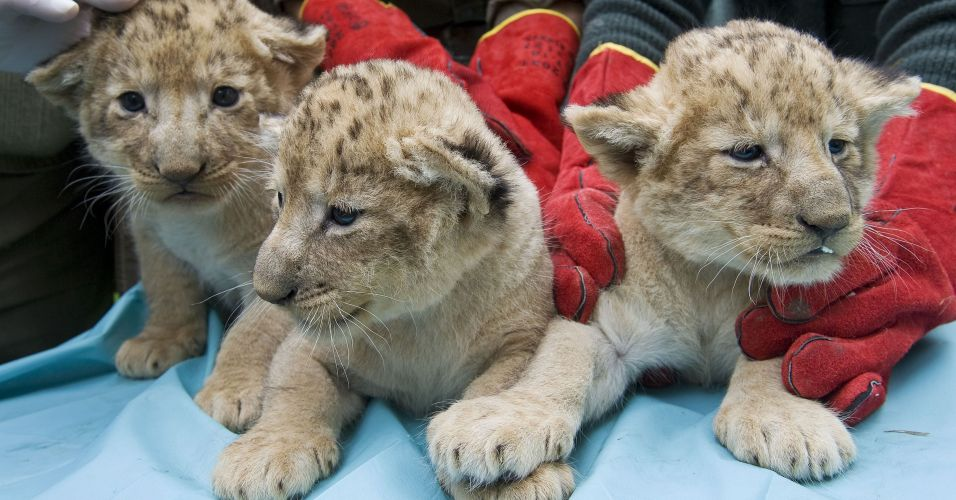 Filhotes de leão na Hungria