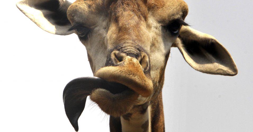 Girafa tailandesa