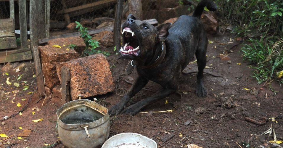 Cão brabo