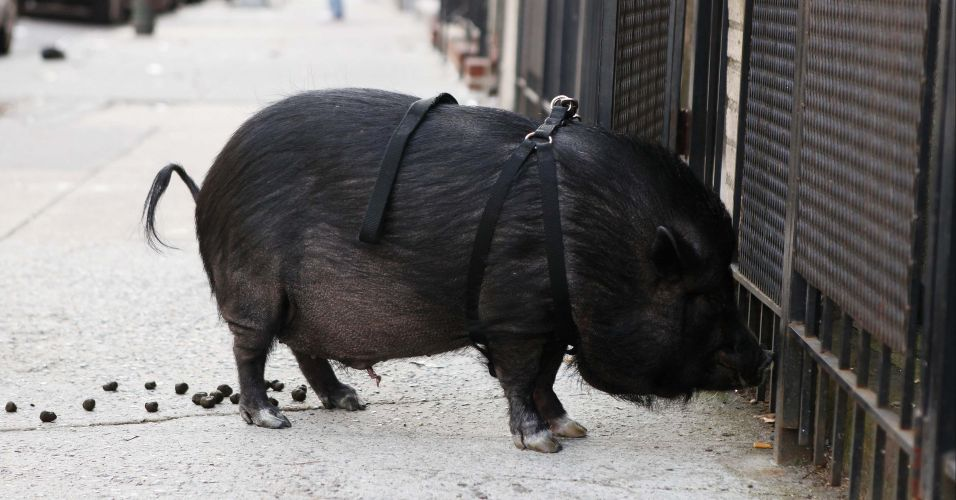 Porco na rua