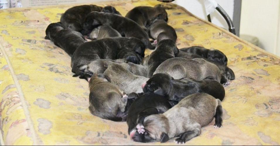Cadela bate recorde ao ter 25 filhotes