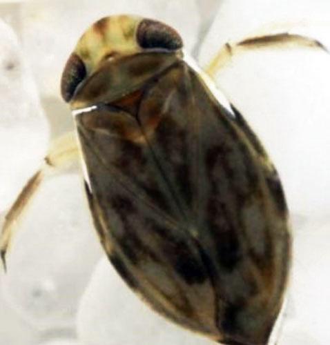 Descoberto inseto mais barulhento do mundo