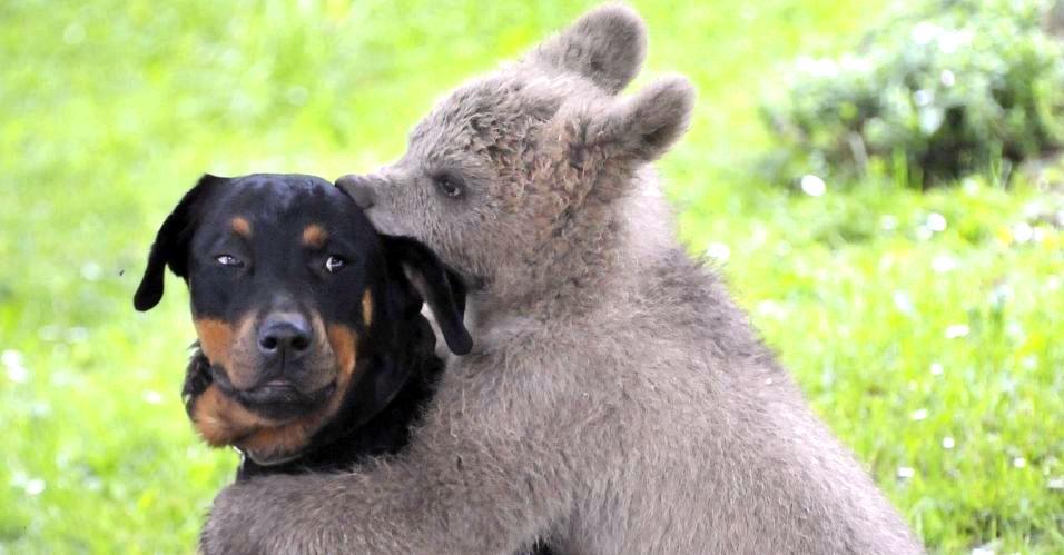 Filhote de urso-pardo abraça cachorro