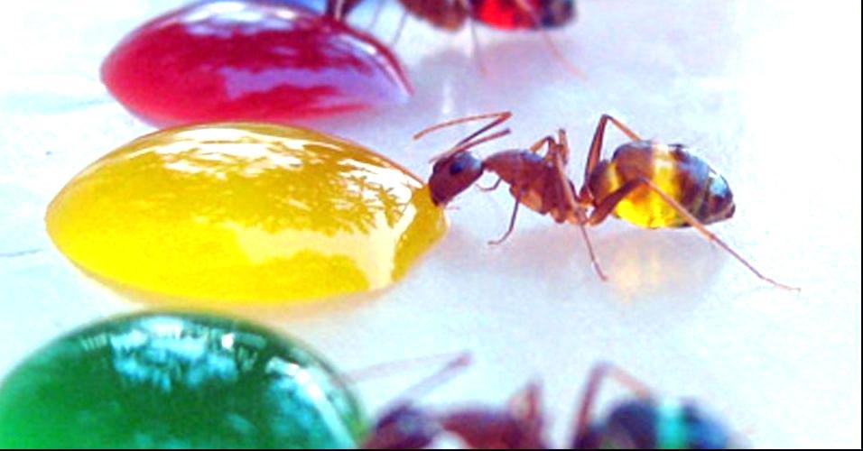 Cientista deixa formigas coloridas
