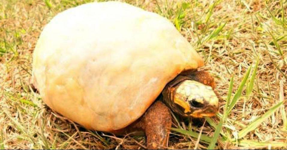 Tartaruga queimada ganha casco novo