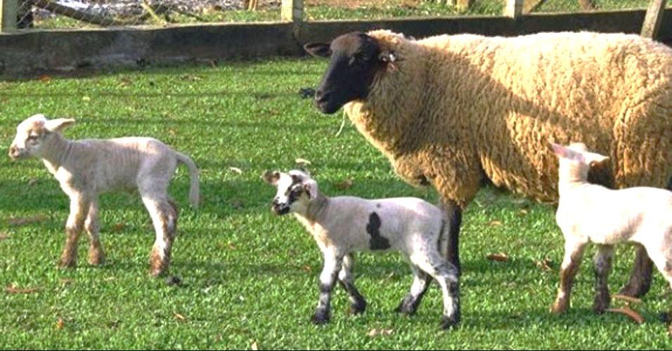 Ovelhas dão à luz trigêmeos
