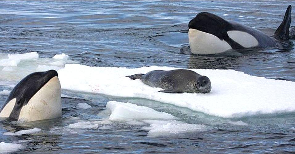 Orcas armam esquema para capturar foca