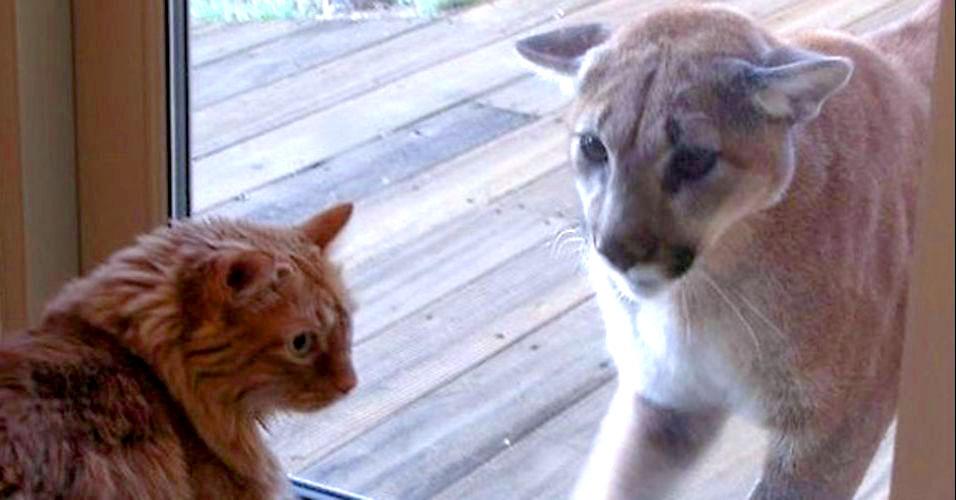 Gato gigante afina para leão da montanha
