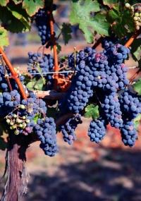 Remessas de vinho da Califórnia caíram no ano passado pela primeira vez em 16 anos