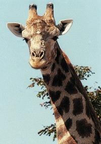 Girafa no Parque Nacional Hwange, localizado no Zimbábue