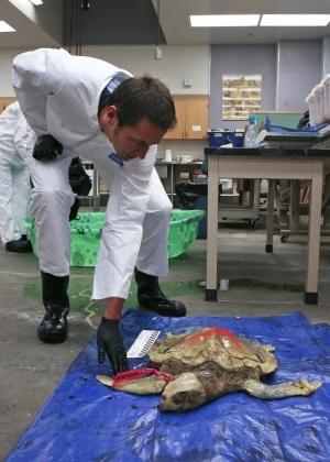 O veterinário e patologista Brian Stacy examina uma tartaruga marinha encontrada boiando no litoral do Mississipi, área atingida pela maré negra do vazamento de óleo do golfo do México