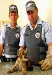Polícia ambiental resgata filhote de onça parda em estrada de SP