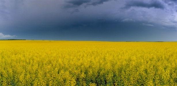 Campo de canola na Dakota do Norte, EUA