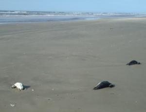 Os animais foram encontrados em uma faixa litorânea de aproximadamente 30 km no RS