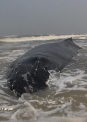 Uma baleia Jubarte está encalhada na beira da praia de Capão Novo, no Litoral Norte gaúcho