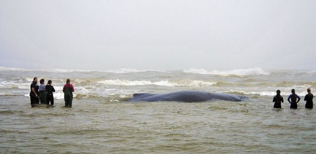 Baleia jubarte encalhada no RS tem 12 metros de comprimento e pesa cerca de 25 toneladas