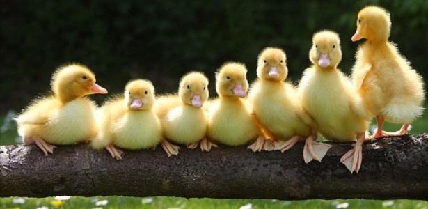 O original da família: Assim que a foto ia ser tirada, um pato muito rebelde virou as costas para a câmera