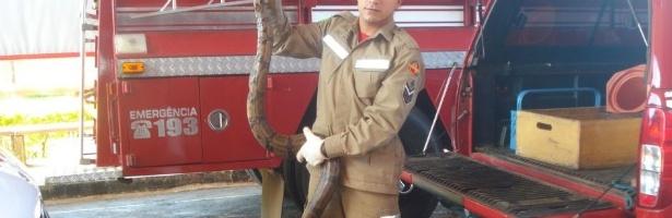 Jiboia come outra cobra e assusta moradores na cidade de Goianésia. Bombeiros resgataram o animal